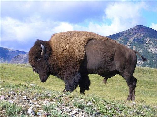 Bisonte de Canadá
