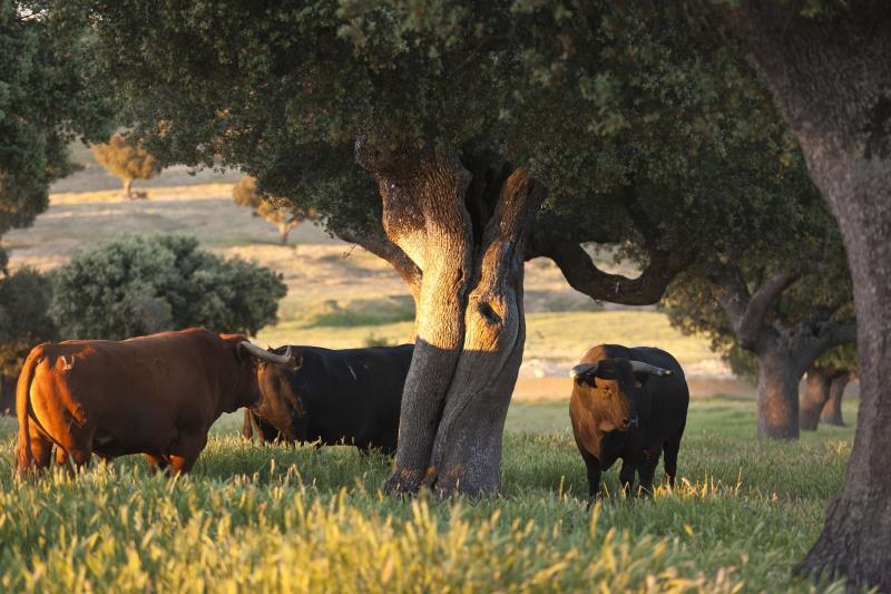 El toro y la dehesa en Salamanca