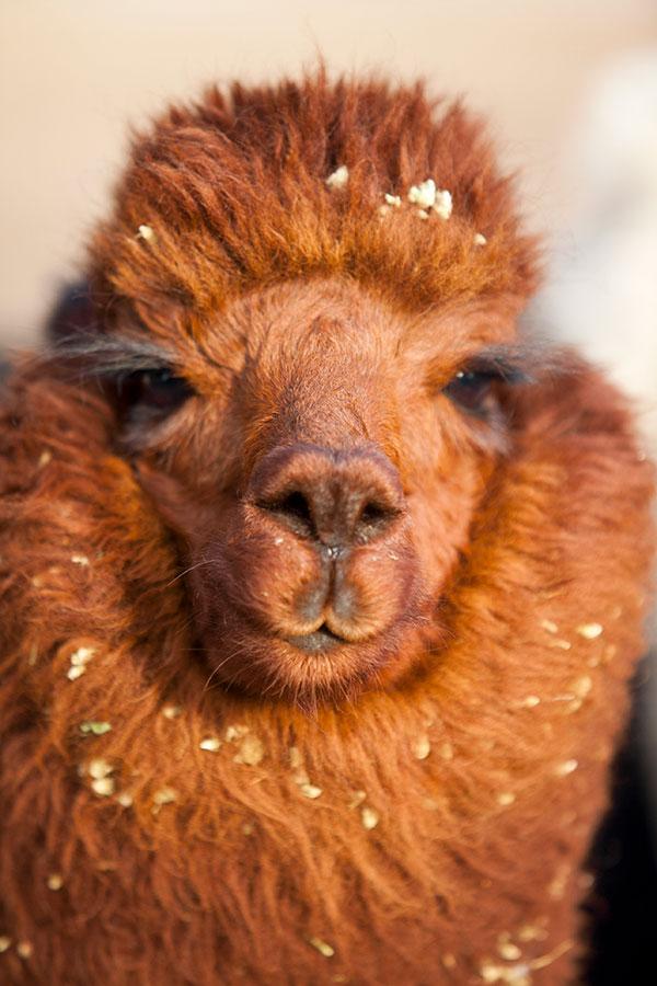 Ven a disfrutar de la alpaca en Perú este otoño