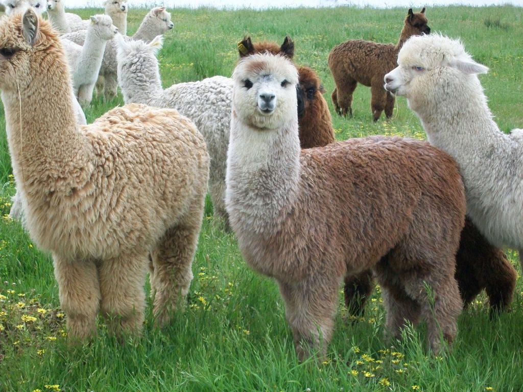 Alpacas peruanas