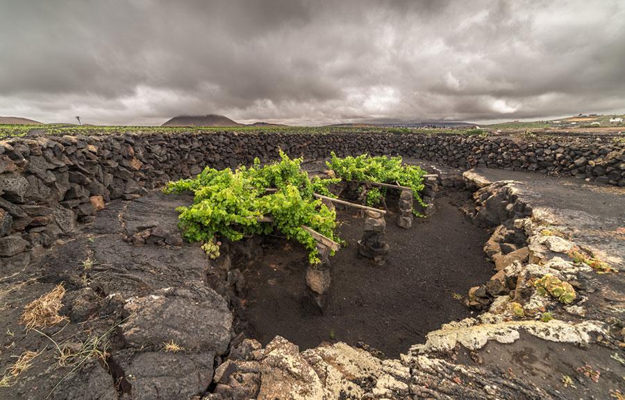 Viñedos en tierras volcanicas de Lanzarote, bodega El Grifo