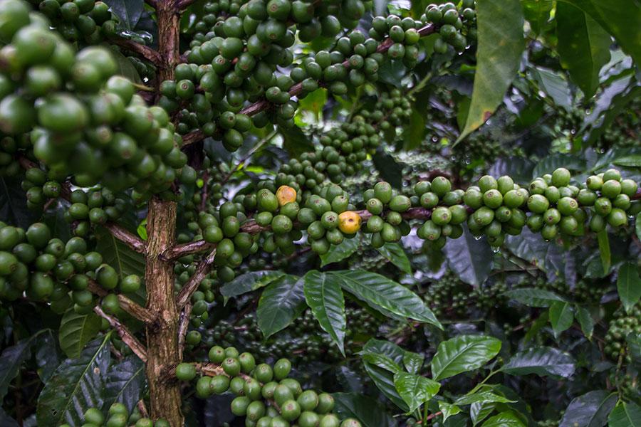 Cafetal en Honduras, cafetos con el fruto verde