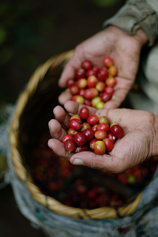 Frutos de café en un cafetal de Nicaragua