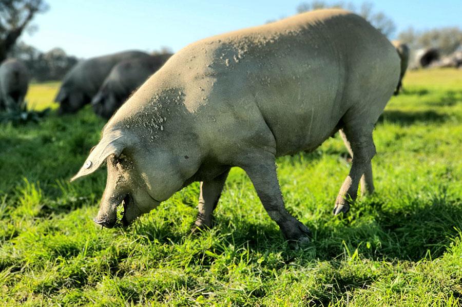 Cerdo ibérico, montanera Navarretinto