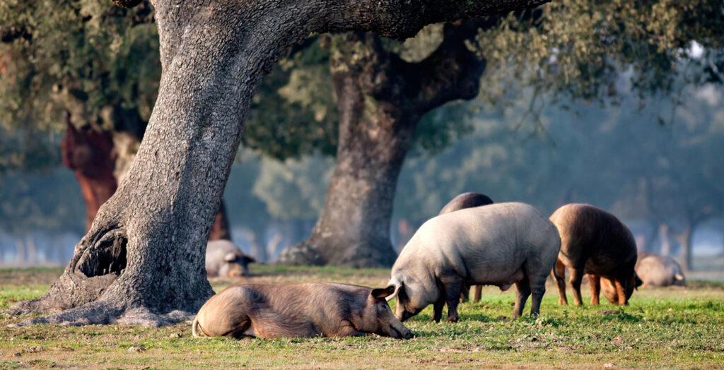 Cerdo ibérico, montanera